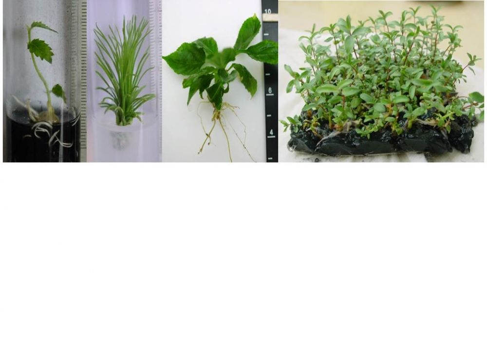 Micropropagation and other in vitro tools to clean up and multiplicate selected genetic resources