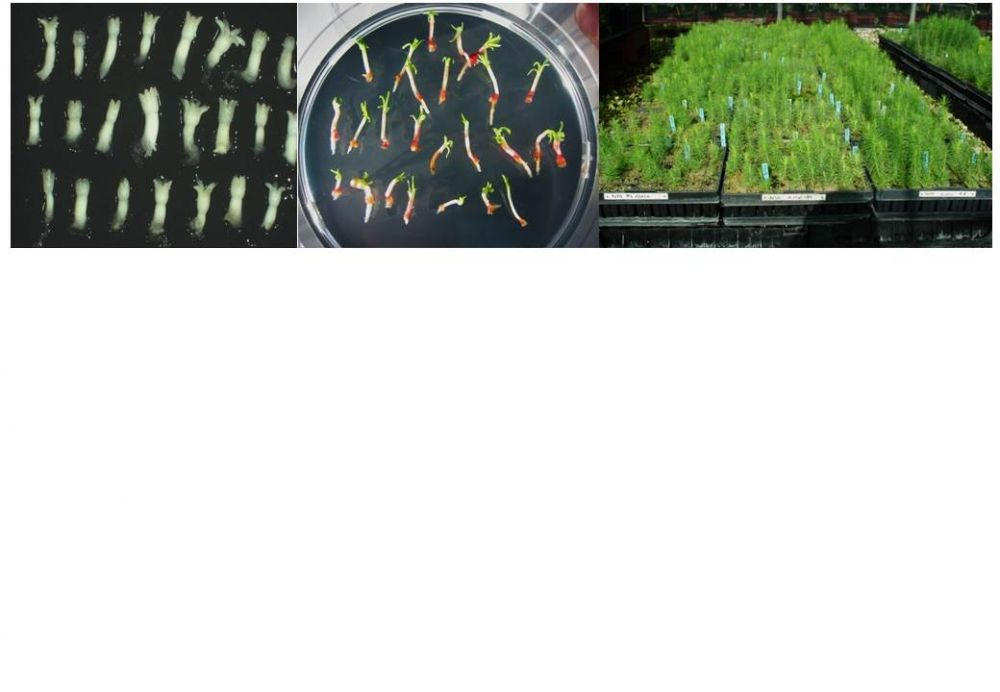 Somatic embryogenesis for scaling up the propagation of genetic resources