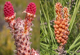 Female and male flowering in maritime pine